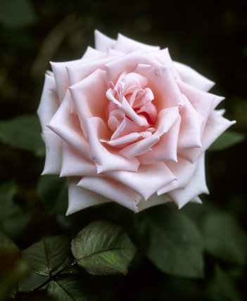 A close up view of the bloom of a pink Hybrid Tea rose