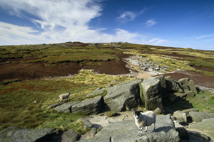 Sheep at Edale Rocks on Kinder Scout under a blue sky with clouds and the moorland behind