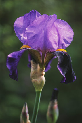 A close up of a purple Iris 'Lothario' at Sissinghurst Castle Garden