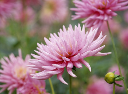 Close-up of a pink cactus dahlia flower (Pink Princess), in the garden of Hinton Ampner