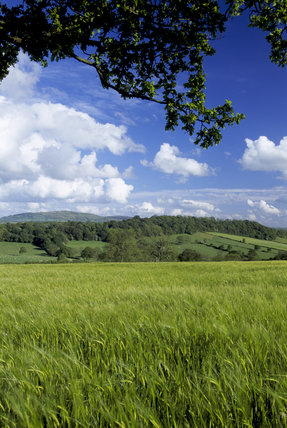 A close view of a field of barley blowing in the wind on Wilderhope Manor Farm in remote countryside on the southern slope of Wenlock Edge, Shropshire