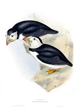 BIRDS OF EUROPE - PUFFIN (Mormon Fratercula) by John Gould, London, 1837, from the Library at Blickling Hall