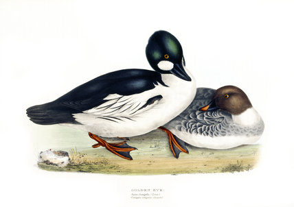 BIRDS OF EUROPE - GOLDEN EYE (Anas clangula) by John Gould, London 1837, from the Library at Blickling Hall