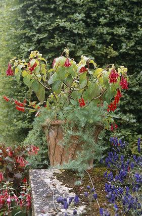 Container with Fuchsias, onagraceae, at Hidcote Manor Garden