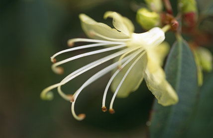 Close view of the flower of a Rhododendron 'lutescens' growing in the garden at Nymans