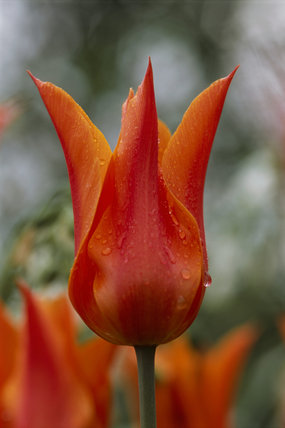 Close up of a tulipa 'Ballerina' in the garden at Sissinghurst Castle Garden, taken in April