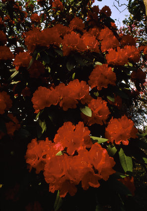 Close-up of red Rhododendron flowers in Spring at Bodnant Garden