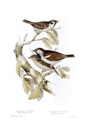 BIRDS OF EUROPE - HOUSE SPARROW (Pyrgita domestica) and TREE SPARROW (Pyrgita montana) by John Gould, London 1837, from the Library at Blickling Hall