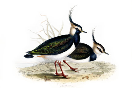 BIRDS OF EUROPE - LAPWING (Vanellus criststus) by John Gould, London 1837, from the Library at Blickling Hall