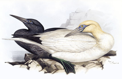 BIRDS OF EUROPE - SOLAN GANNET (Sula bassana) by John Gould, London 1837, from the Library at Blickling Hall