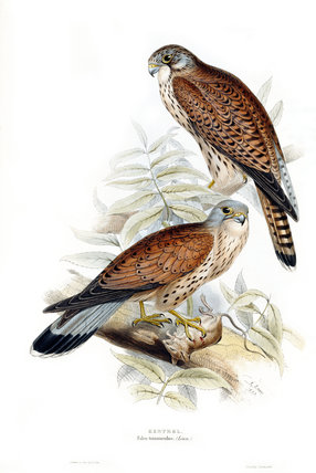 BIRDS OF EUROPE - KESTREL (Falco tinnunculus) by John Gould, London 1837, from the Library at Blickling Hall