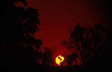 A fallow deer, (Dama, dama) against the setting sun