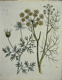 Fennel and Caraway / Bertuch 1796