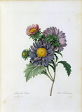China aster / Redoute
