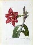 Amaryllis brasiliensis / Redoute
