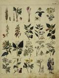 Plant Species / From: Gruenewald / 1841
