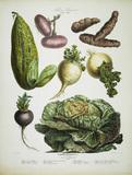 Potato, onion a.o. / Album Vilmorin