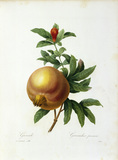 Pomegranate / Redoute
