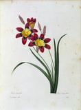 Harlequin Flower / Redoute