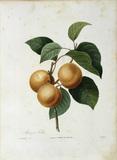 Apricot / Redoute