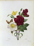 Hellebore and carnation / Redoute