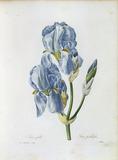 Pale Iris / Redoute