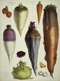 Carrots, mangold beet a.o/Album Vilmorin
