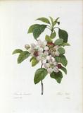 Apple blossom / Redoute