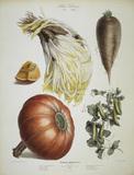 Chicory, peas, a.o. / Album Vilmorin