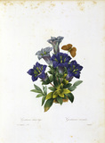 Blue gentian / Redoute
