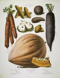 Carrot, potato a.o. / Album Vilmorin