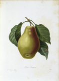 Tarquin pear / Redoute