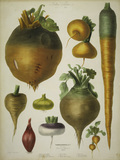 Mangold beet, swede, a.o./Album Vilmorin
