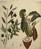 Cacao Tree and Olive Tree / Engraving