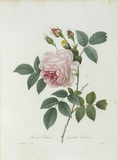 Tea Rose / Redoute 1835