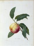 Peach / Redoute