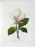Magnolia / Redoute