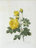 Yellow Rose / / Redoute 1835