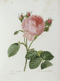 Cabbage Rose / Redoute 1835