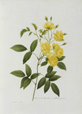 Yellow Lady Banks Rose / Redoute 1835