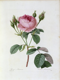 Roses / Redoute 1835