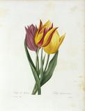 Didier's tulip / Redoute