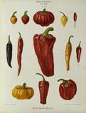 Pepper, Album Benary / Colour lithograph