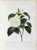 Camellia / Redoute