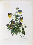 Pansy / Redoute