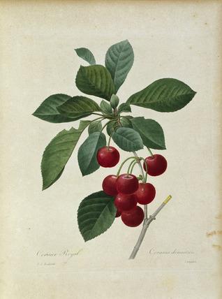 Botany / Cherry (Prunus cerasus)