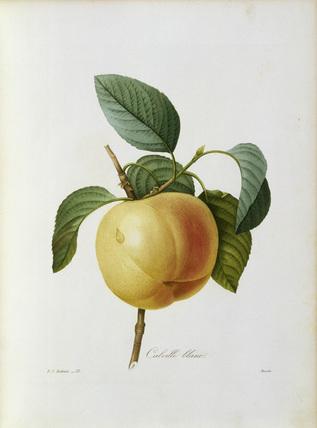 Apple, Calville blanc / Redoute