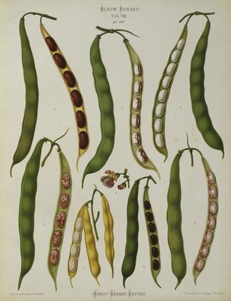 Bush beans, Album Benary / Lithograph