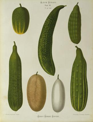 Cucumber / Album Benary / Lithograph