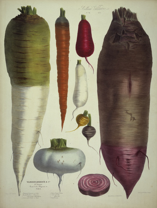 Mangold beet, carrot a.o./Album Vilmorin